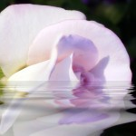Mauve White Rose Reflecting