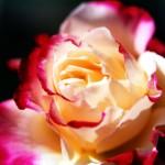 Dorothy;s Rose
