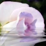 Mauve White Rose Reflecting